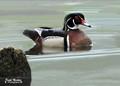 Wood Duck 'Male'