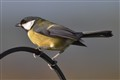 The Handsome Great Tit  (parus major)