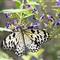 Aruba Butterfly DSC_0092r