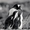 Gentoo_and_Two_Chicks