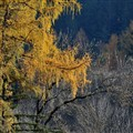 Larch in autumn