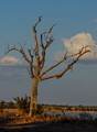 Dead tree at Mandavu dam, in Hawange Zimbabwe