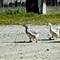 2012-1721 geese Carta Romania