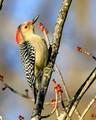 Red-bellied Woodpecker (1 of 1)