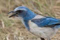 A friendly Florida Scrub Jay