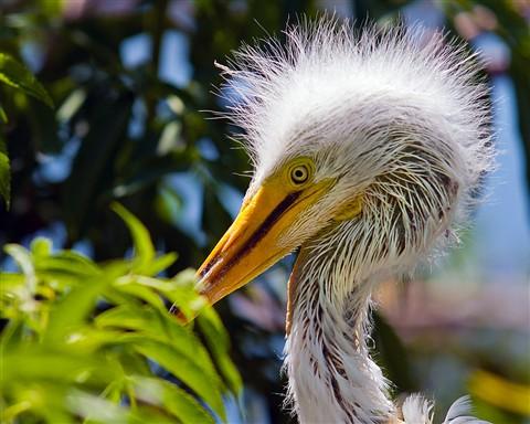 Great White Egret Hatchling