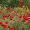 Poppies: Unedited