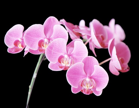 pink orchid stem 1