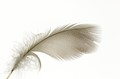 Feather was found in our yard and photographed the same day.  Even though it was notched, I thought it was still beautiful.