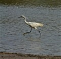 Little Egret on the Run