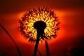 Pusteblume - dandelion