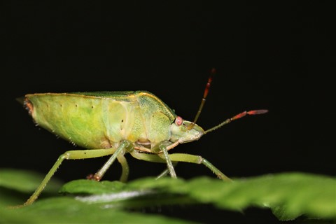 Shield bug - Palomena prasina (Green Shield Bug) (2)