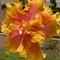 Island Queen hybrid hibiscus