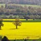 Rape-field,-Ludlow