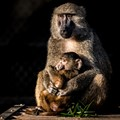 Mother and Baby Baboon-2323