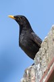 Flat Blackbird2
