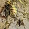 2017 Amber 037 March Hymenoptera