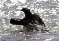 Sparkling water around a bathing Osprey