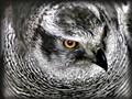 gosshawk_closeup_1500pxl