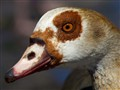 Curious Goose