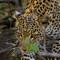 leopard9999