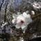 Spring Blossom 3