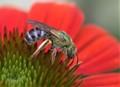 Bicoloured Agapostemon (Agapostemon virescens) on Echinacea purpurea.