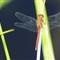 V1 Dragonfly