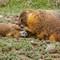 marmot grooming juv 2016 1366x768