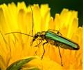 Flower Beetle