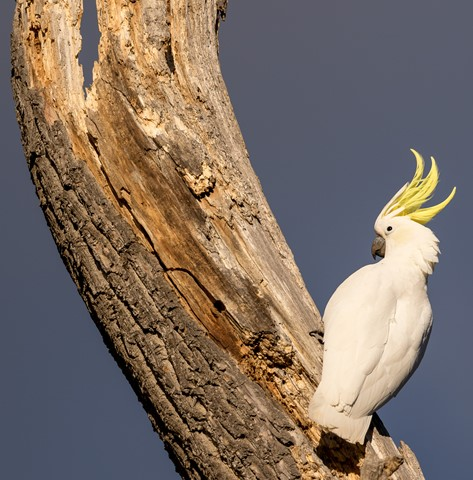 Sulfur crested_168A1701