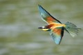 European Bee-eater /Merops apiaster