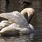 Tam150-600 Swan @ 600mm