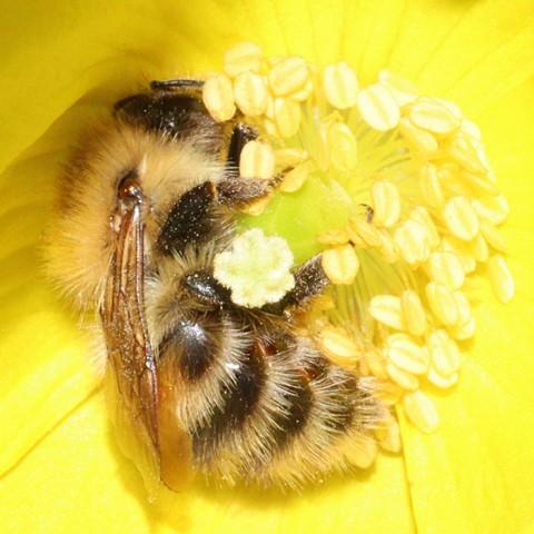 Bee - Bombus pascuorum (Common Carder) 210608