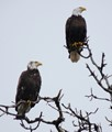 twin Alki eagles