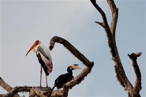 Hornbill and Stork