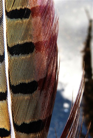 reeves pheasant tail feathers vertical