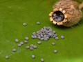 Campion seed pod spillage.