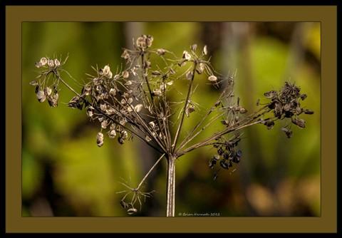 Dry seed head (Apiaceae)