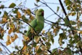 Ring-Necked Parakeet in Epping Forest, London, UK