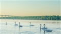Swans on Danube
