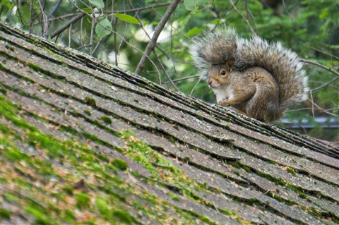 Brown Squirrel on Roof