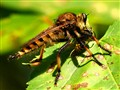 Robber Fly with wasp.