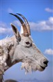 Mt Evans Goat