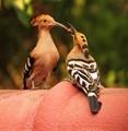 Hoopoe Bird Feeding