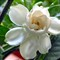 Gardenia # 8