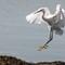 Snowy Egret landing-4