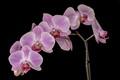 Orchid Spray