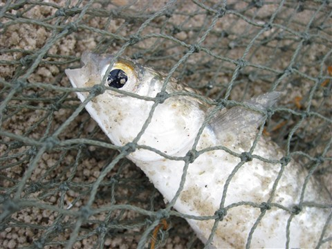 Fish in a net