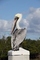 Pelican waiting for spare bait fish